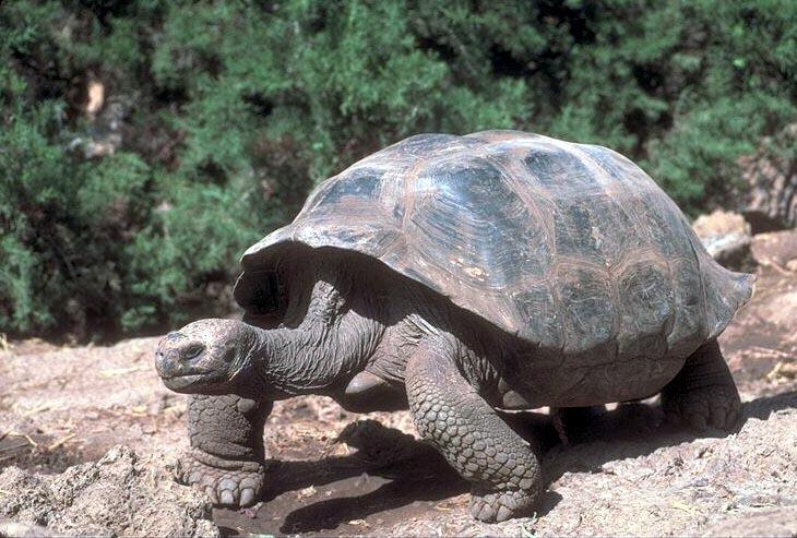 Tortoisg